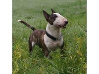 Miniature English bull terrier