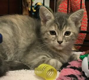Penny - rescued female grey tabby female kitten for adoption