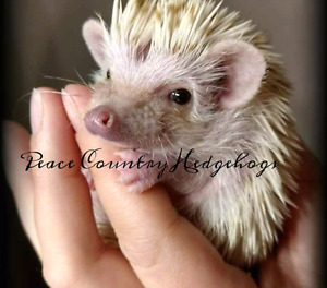 https://www.facebook.com/peacecountryhedgehogs2016/