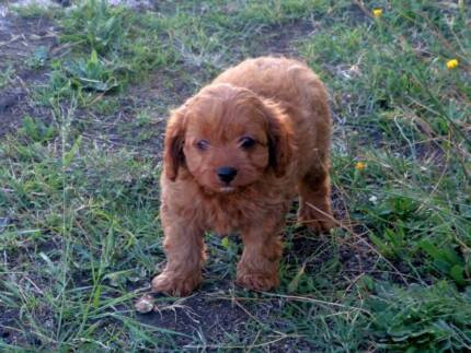 Cavoodle first generation
