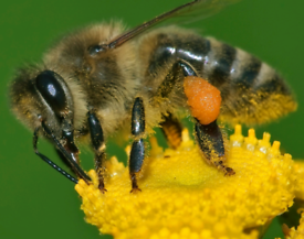 Bee Removal/ collection, Dorchester /Dorset/Exeter