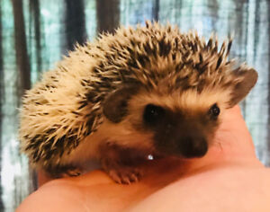 Adorable baby home raised Hedgehogs!
