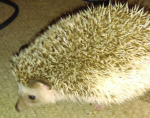 2  year old female hedgehog and midwest cage