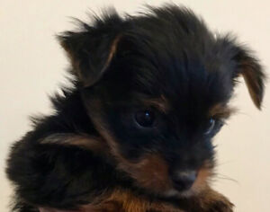 BEAUTIFUL YORKIE-Yorkshire terrier