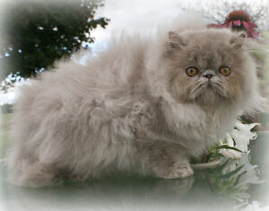 Solid Lilac Retired Persian Female - Spayed/Microchipped/Vacc