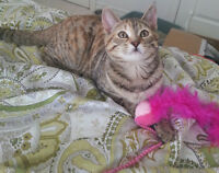 Sweet kitten needs loving home!!!!!!!! - VACCINATED AND DEWORMED