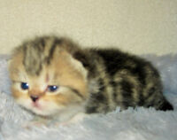 Adorable Purebred Exotic  Brown Tabby Male Kitten 4 Sale