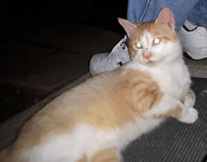 Found A LOST Orange and White Cat - Brights Grove Area