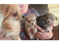 long haired Chihuahua puppies for sale, KC reg.