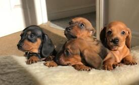 Really cute mini puppies available