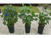 3 x 3L pots - Blackcurrant - Ben Lomond - £10 - Glenrothes