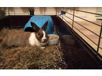 FREE TO GOOD HOME- MALE BUNNY
