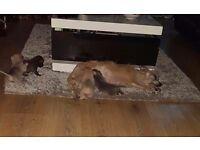 Beautiful 3/4 chihuahua puppies