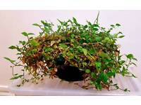 Indoor Variety Wandering Jew | Species of Spiderwort | Tradescantia Fluminensis | Leeds