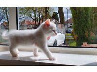 Ragdoll Cross Kitten - Pure white