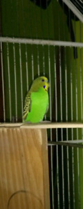 Budgies to a good home