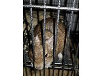 4 degus girls must go together as sisters £100 or with cadge£170