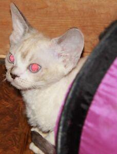 Gorgeous Devon Rex Kittens