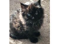 X ragdoll kittens for sale