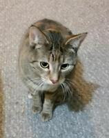 "Adult Female Cat - Tabby - Grey-Torbie: ""Lana"""