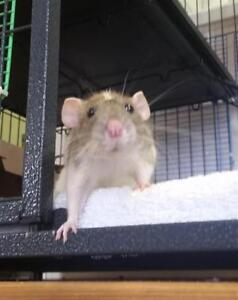 "Young Female Small & Furry - Rat: ""Mu And Snowball"""