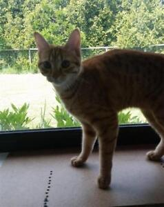 Young Female  - Domestic Short Hair