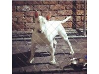 Stunning KC registered English bull terrier pups...2 stocky boys and 1 gorgeous girl left