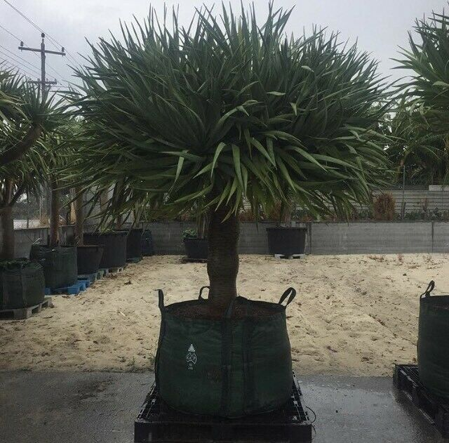 Dragon Tree Inc Delivery And Planting Plants Gumtree