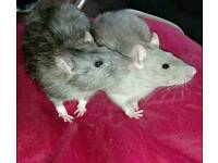4 MALE RATS FOR ADOPTION!