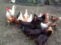 White Leghorn Large Hens and Roosters