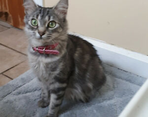 Female Tabby free to good home