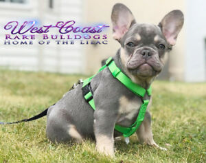 LILAC FRENCHIES !!