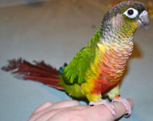 ❤★❤Baby★Conures with Cage❤★❤