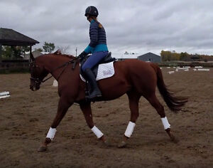 Handsome and well schooled 16.1hh  2007 OTTB gelding for sale Kingston Kingston Area image 3