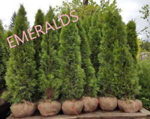 Emerald (Smarag) and Pyramidal (Brandon) Hedging Cedar Trees