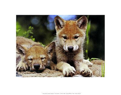 Art Wolfe Spring Wolf Pups Poster Kunstdruck Bild 28x36cm