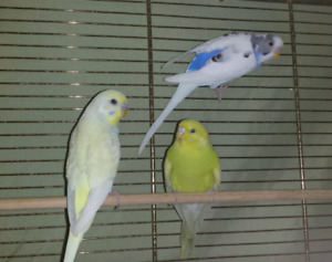 Budgie bird to go to a good home.