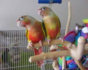 ❤★❤Hand Tamed★Conures with Cage❤★❤