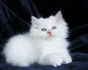 Ragdoll Kittens  are Available for Good Homes
