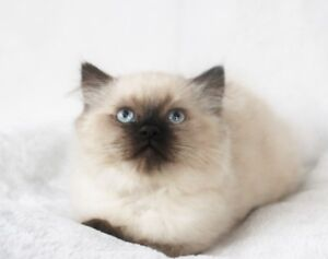 Seal Point Persian Himalayan Male Kitten for Adoption