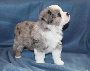 Beautiful Puppies! Shihtzu X Toy Aussie