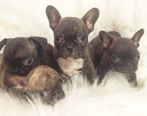 French Bulldog Puppies!!! *High Quality*