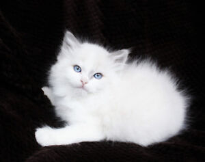 Bicolour Ragdoll Kittens are looking for their new homes