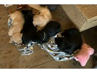 Labrador puppies for sale. 3 girls and 2 boys left.