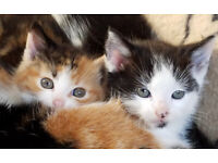 Cute Longhair kittens for sale, 1 male one female