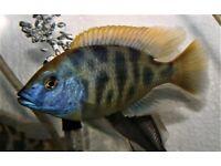 Malawi,Haplochromis,African Cichlid,Nimbochromis Venustus fry for sale