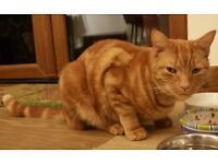 MISSING 4 YEAR OLD MALE GINGER CAT - £200 REWARD