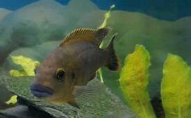 Blue lip cichlid
