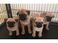 Frug puppys (pug x french bulldog)