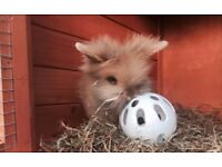 Adorable lionhead rabbits ready to go now ! Price is for each rabbit.